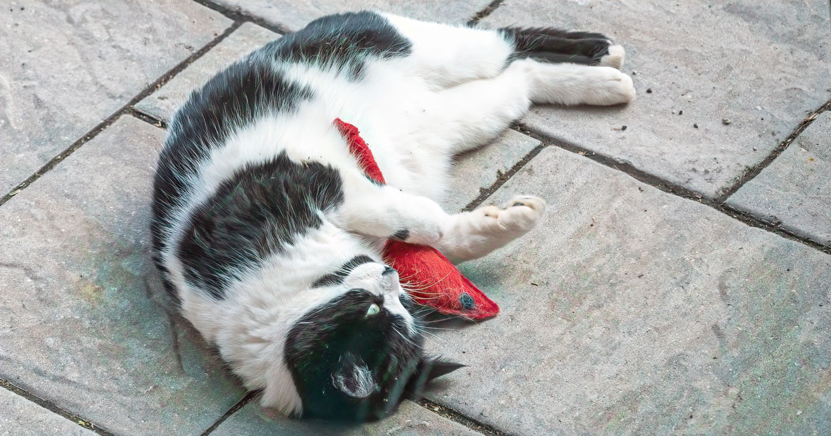 black and white cat playing with catnip mouse