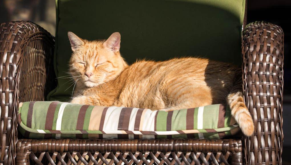 senior orange cat in sunbeam