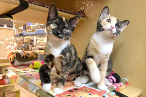 tortie and calico